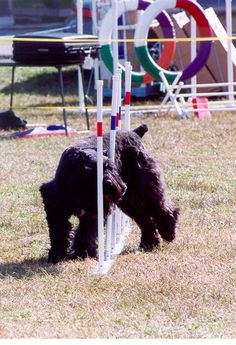 Bouvier des Flandres weaving in Agility competition.