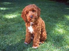 An Apricot-coloured Adult  Cockapoo