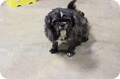 Coventry, RI - Shih Tzu. Meet Bevo a Dog for Adoption.