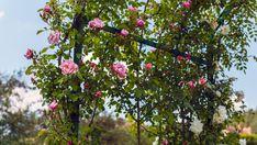 Von winterhart bis immergrün: Kletterpflanzen helfen gegen neugierige Blicke, wachsen schnell und verwandeln den Rückzugsort in ein grünes Paradies. Mit diesen Tipps und Rankhilfen haben Sie in wenigen Wochen einen natürlichen Sichtschutz für Balkon und Terrasse .