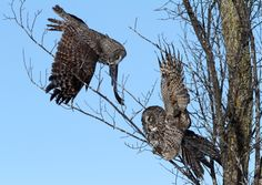Two Great Grey Owls confront one another...territorial dispute