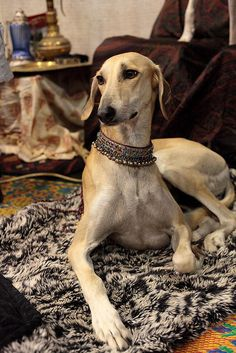 A lounging saluki (or, more accurately, a sloughi?)