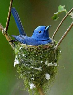 bird on bird nest. - -Blue bird on bird nest. Bird- Completed with DNA to build his own house by The Creator. Asian Paradise Flycatcher, Birds of Sarawak on the island of Borneo Pretty Birds, Love Birds, Beautiful Birds, Animals Beautiful, Beautiful Pictures, Exotic Birds, Colorful Birds, Exotic Animals, Exotic Pets