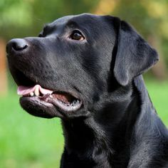 What Do Different Dog Barks Mean? Learn What Your Lab Is Saying in this article from LTHQ: http://www.labradortraininghq.com/labrador-behavior/why-do-dogs-bark/