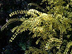 http://worldoffloweringplants.com/acacia-alata-winged-wattle/