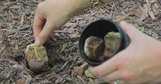Conserva le vecchie bustine di tè e le Pianta in Giardino, Quando scoprirai perchè… lo farai anche tu!