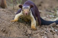 Wild India | A Close Encounter; Malabar Giant Squirrel, Ratufa indica