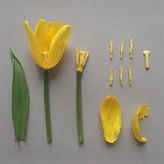 T U L I P. deconstruction #botanicaldeconstruction #tulip #tulipa #yellowtulip #botanicalstudy #china #beijing