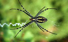 Animal Spider  Web Insect Arthropod Arachnid Arachnids Cool Beautiful Close-up Widescreen Wallpaper