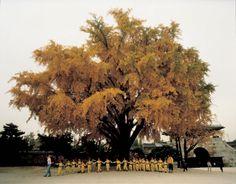 은행나무2