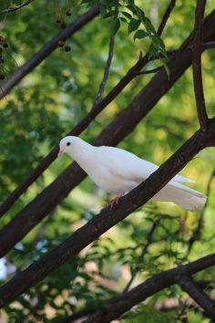 all in Bokeh Dove Bird, White Doves, White Gardens, Catania, Bellini, Simple Pleasures, Bokeh, Beautiful Birds, Celtic