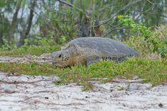 Schildkröten legen Eier auf Heron Island Great Barrier Reef, Island, Heron, Animals, Snorkeling, Travel Report, Egg, Animales, Animaux