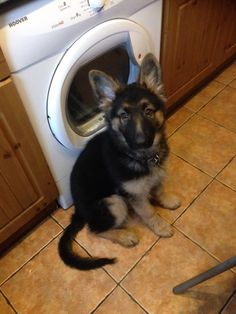 Look mummy my ears are up now ! #puppy #gsd