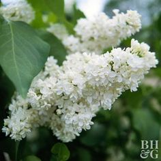 Lilacs are among the most recognizable spring flowering shrubs. If you miss their large cone-shaped flower trusses, you can't avoid their intense fragrance. Lilacs are durable and able to put up with most any growing conditions except shade. Name: Syringa selections