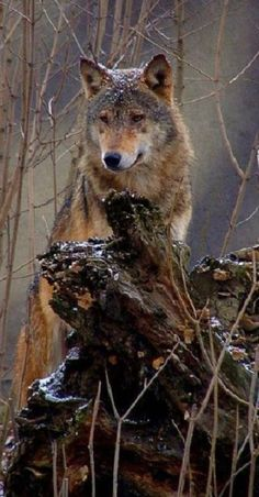 Stunning intelligent wolf, - love the snow sprinkle on his head! Wolf Love, Beautiful Creatures, Animals Beautiful, Cute Animals, Wolf Spirit, My Spirit Animal, Wolf Pictures, Animal Pictures, Tier Wolf