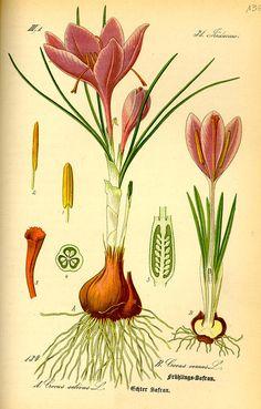 Botanical illustration of crocus Illustration Botanique Vintage, Botanical Illustration, Illustration Art, Botanical Flowers, Botanical Art, Botanical Gardens, Vintage Botanical Prints, Botanical Drawings, Impressions Botaniques