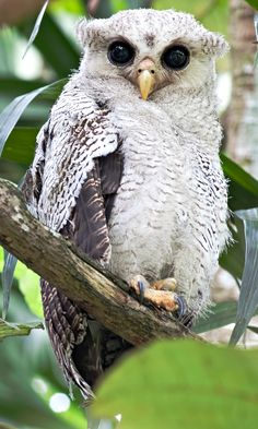 Barred Eagle Owl (Bubo Sumatranus)  - This baby of Barred Eagle Owl (Bubo Sumatranus)  Also called the Malay Eagle Owl, is a species of owl in the Strigidae family   Photo Taken In Malaysia..