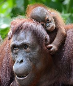 Dam, a female Bornean orangutan, is pictured with her son, Veera, at the Singapore Zoo. So precious!