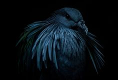https://flic.kr/p/NrogwK   Moody Bird   Nicobar Pigeon drivers license photo  2015-10-16     12.32.50  Day 180/365  Check out more birds here... www.brandonhilder.com/portfolio/birds/   Thanx for Viewin, Favin, and Commentin on my Stream!