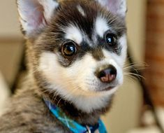 """The Alaskan Klee Kai is a miniature version of the Alaskan Husky. """"Klee Kai"""" even means """"small dog"""" in Alaskan Athabaskan language. These dogs were bred to be a companion sized replica of the husky that were fit for apartment living. Alaskan Husky, Alaskan Klee Kai Puppy, Miniature Husky, Miniature Dog Breeds, Cute Puppies, Cute Dogs, Dogs And Puppies, Doggies, Best Dog Breeds"""