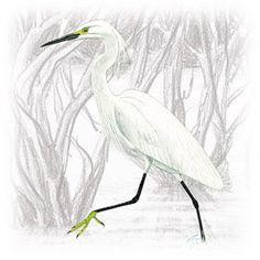 Garça Branca Pequena (Egretta thula)
