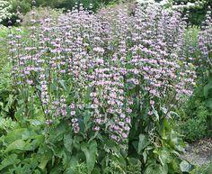 Buy Jerusalem sage Phlomis tuberosa 'Amazone': Delivery by Waitrose Garden in association with Crocus
