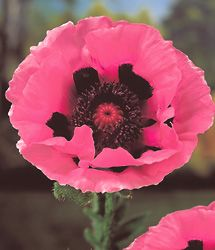 EasyBloom :: Oriental Poppy - Papaver orientale 'Raspberry Queen' :: Detailed Plant Information