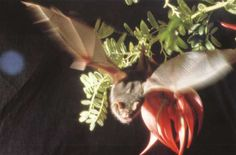 New Zealand lesser short-tailed bat Mystacina tuberculata