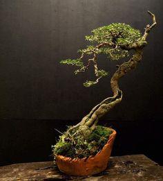 Bonsai Forest, Bonsai Art, Bonsai Plants, Bonsai Garden, Ficus, Permaculture, Bougainvillea Bonsai, Prunus Mume, Bonsai Tree Types