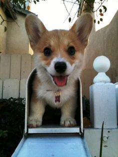 Corgis' are the world's cutest dogs