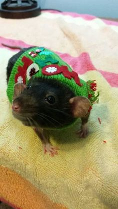 Rat - good picture