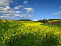 Napa Valley Mustard Festival is a Season of Sensational Wine Country Events held during the late winter and early spring seasons when wild mustard blooms. Mustard Flowers, Yellow Fields, Early Spring, Napa Valley, Wine Country, Wildflowers, Mother Nature, Travel Ideas, Vineyard