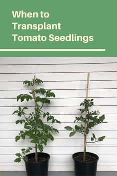 How do you know when its time to transplant tomato seedlings to the outdoor garden? Whether you've bought tomato seedlings from the garden centre or…