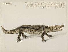 Caiman, Frans Post (1612–1680), watercolor and gouache, with pen and black ink, over graphite, c. 1638–44. Noord-Hollands Archief, Haarlem, inv.nr. 53004672. MMT: 915
