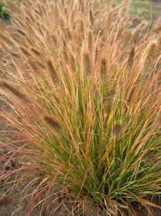 Pennisetum Desert Plains -- Bluestone Perennials