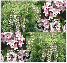 Beauty Bush  Kolkwitzia amabilis  Shrub Seed by ALLooABOUTooSEEDS