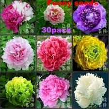 Image result for peony varieties
