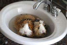 Guinea pig bath time