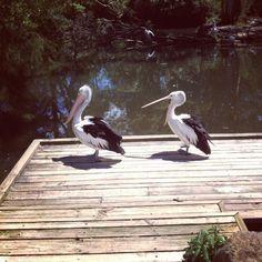Pelicans at Healesville Sanctuary, Australia
