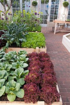 Suburban / urban backyard raised beds vegetable garden on brick patio, with upscale house and French doors visible, patio chair, rows of red lettuces New Red Fire, green lettuce, kale, pak choi, salad greens, flowers