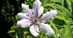 Clematis Nelly Moser - - My Pins Clematis Nelly Moser, Flowers, Plants, Terrarium Ideas, Crop Protection, Climbing Vines, Flowers Garden, Garlands, Plant
