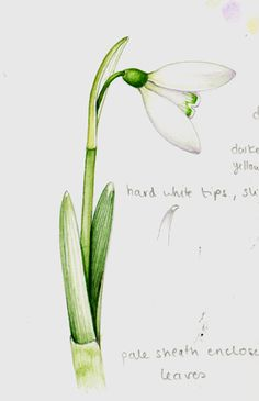Tips and tricks on botanical drawing Sketchbook illustration of a snowdrop flower