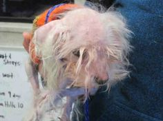 """There is no other description than """"heartbreaking"""" to fit this 13-year-old, neglected Maltese being held in a volunteer's arms. How any owner could look at this nearly blind little one with two badly healed fractured legs is unforgivable, yet no one can identify the tiny dog nor her owner. Found as a stray on December 28, this special needs pooch weighs only 5.4 pounds and is currently at the Orange County Shelter in California."""
