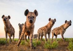 Wildlife photographer Will Burrard-Lucas has spent years photographing hyenas in Africa. Here is a collection of his best images. African Wild Dog, African Safari, Wild Life, Brown Hyena, Animals And Pets, Cute Animals, Wild Animals, Animal Facts, Wild Dogs