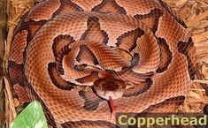 The Copperhead, a pit viper, widespread throughout the United States, is responsible for most of the venomous bites. Copperhead bites are painful, but rarely pose a serious threat to human life. The Copperhead typically ranges from Massachusetts to Nebraska to Florida and Texas.