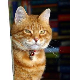 Ginger cat