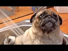 Pug can't contain his excitement for bath time