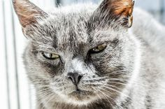 ✳ Check out this free photoGray Fur Coated Cat    ✅ https://avopix.com/photo/48392-gray-fur-coated-cat    #cat #feline #animal #kitten #domestic cat #avopix #free #photos #public #domain