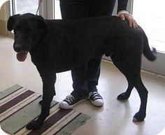 PET IS IN HIGH KILL SHELTER. ACT QUICKLY!!! Johnson City, TN - Great Dane/Labrador Retriever Mix. Meet beau, a dog for adoption. http://www.adoptapet.com/pet/14028412-johnson-city-tennessee-great-dane-mix