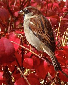 Sparrow fine art photograph ~ a close-up photograph of an adult female House Sparrow perched on bright red autumn foliage, in Salt Lake City. www.ronablack.com